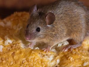 Square mice