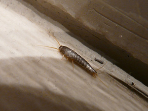 Square silverfish