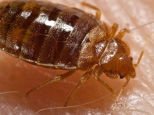 Square bedbugs