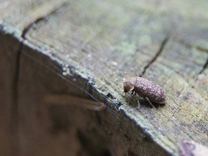 Square deathwatch beetle