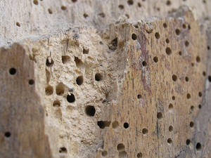 Square woodworm2