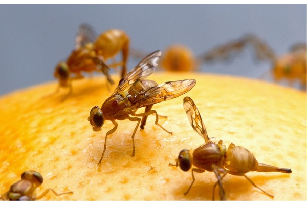 Big sq fruit flies