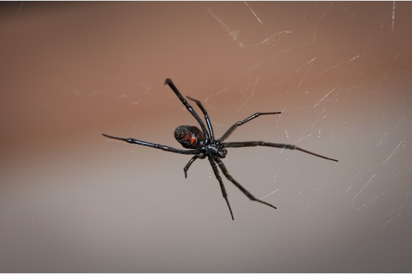 Big sq black widow spider 949399 960 720