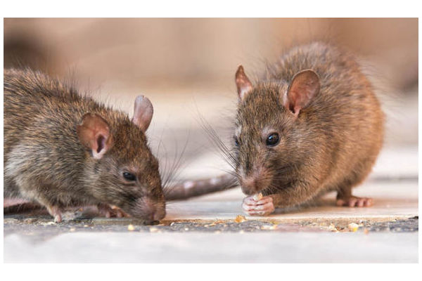 Big sq top 10 facts about rats   owned by the mirror