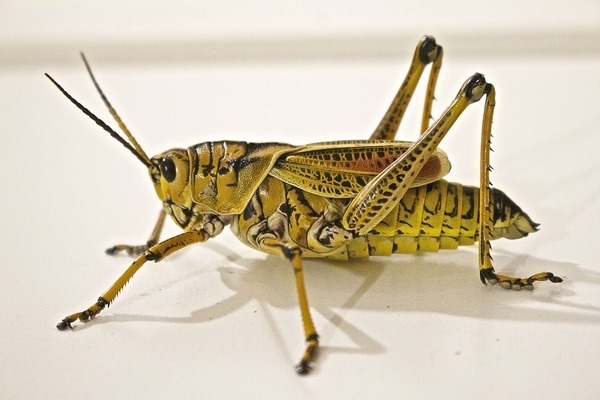 Big sq locust