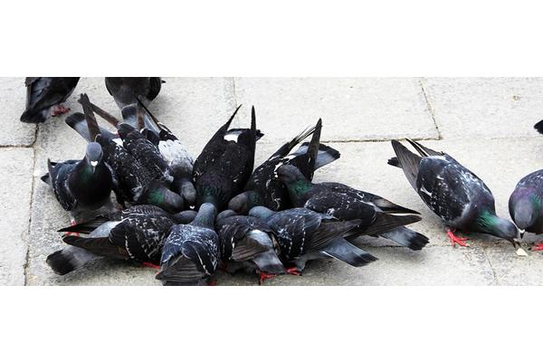 Big sq pigeons 1