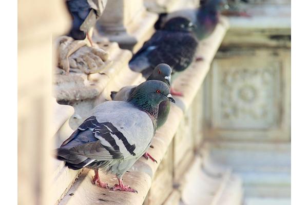 Big sq pigeon control