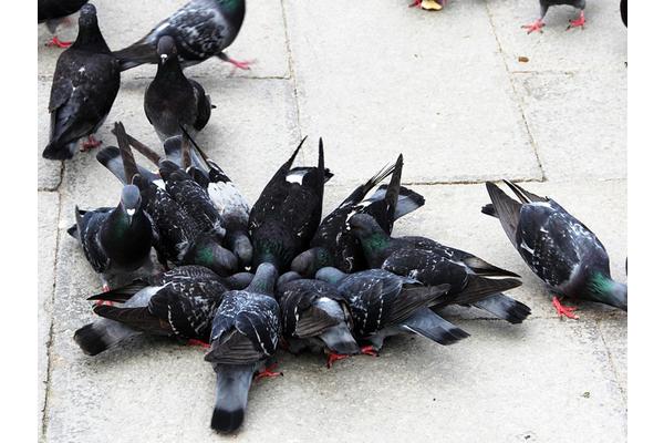 Big sq pigeons 2