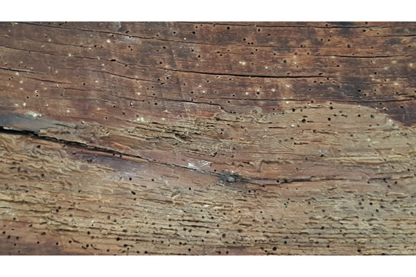 Big sq woodworm timber 2