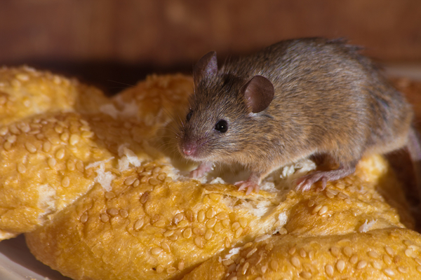 Big sq mouse on bread