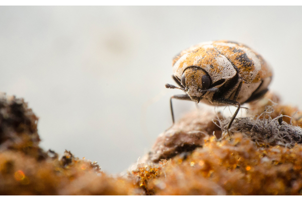 Big sq carpet beetle