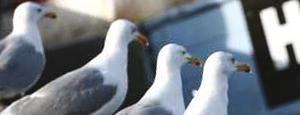 Abate bird control tile