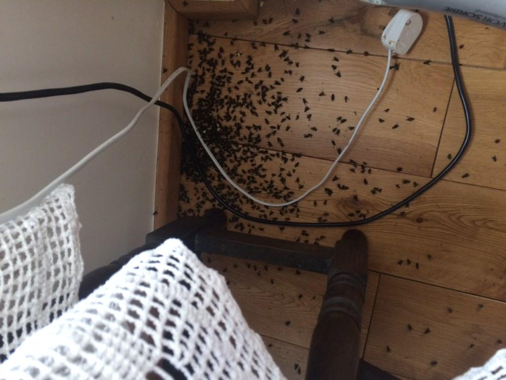 Cluster Flies Norfolk