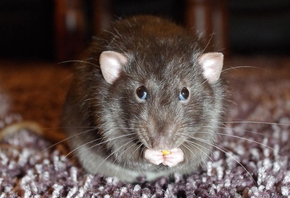 rat control norfolk