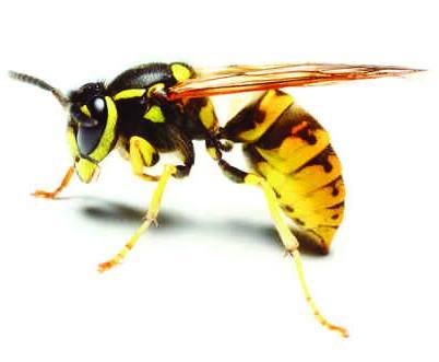 wasp nest treatment Norfolk